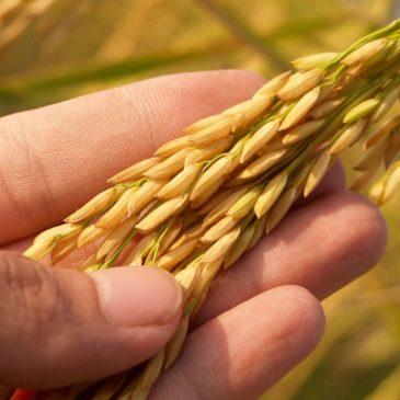 Як забезпечити захист зернових культур від однорічних та багаторічних дводольних бур'янів