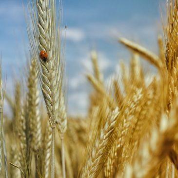 Гербіцидний захист зернових культур: який обрати?