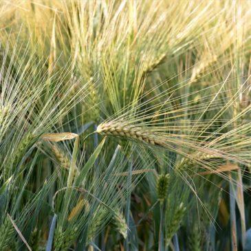 Рекомендації щодо удобрення озимої пшениці
